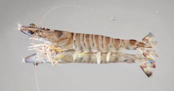 Crevette impériable - gambas