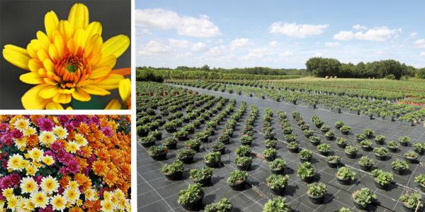 chrysanthemes chez Maguy Végétal Horticulture